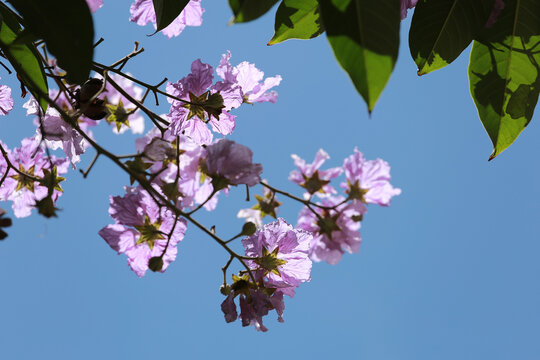 The beautiful of purple Handroanthus chrysotrichus blossom.
