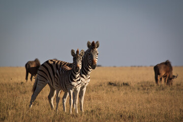 Photo sur Plexiglas Zebra zebras in the savannah