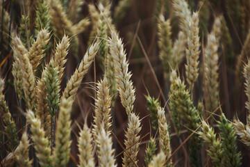 Gerste vor der Ernte auf dem Feld