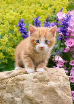 Cute baby cat kitten, red tabby with white, standing on a rock in a colorful flowery garden