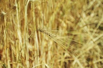 Der Weizen vor der Ernte