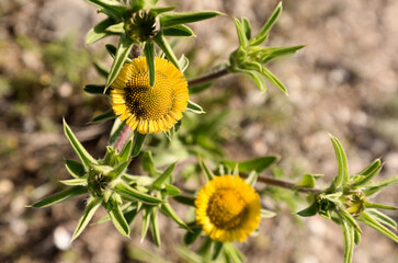 Pallenis spinosa Cass is a phanerogamic species belonging to the asteraceae family.