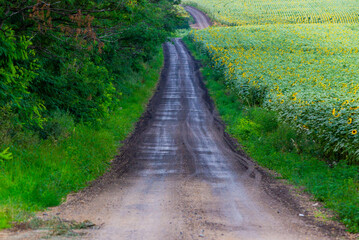 Wall Murals Green Rural dirt road in a countryside landscape with sunflowers field.