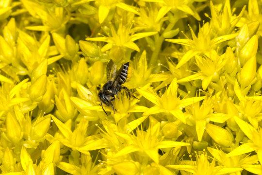 Megachilid Bee, Leafcutter Bee (Megachile spec.) on Sedum