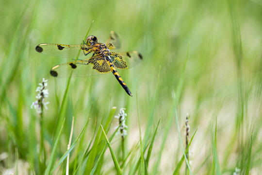 A calico pennant dragonfly perches on the tip of a grass stalk, displaying its colorful netted wings and thorax. This creature is likely a juvenile male and was part of a feeding swarm.