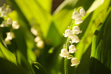 Beautiful lily of the valley in spring garden, closeup