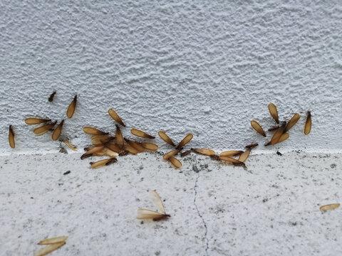 Alates termite