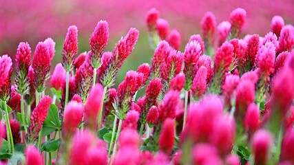 Door stickers Pink Beautiful blooming red clover in the field. Natural colorful background.