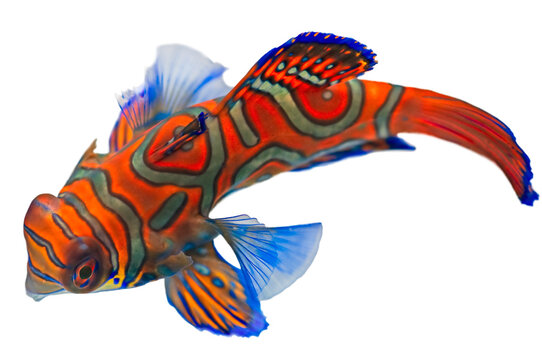 Mandarin Fish (Synchiropus Splendidus)