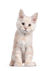 Wall Mural - Sweet red shaded Maine Coon cat kitten, sitting up facing front. Looking beside camera with droopy eyes. Isolated on white background.