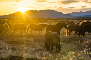 Fotobehang Noord Europa Group of Icelandic Horses in pasture with mountains background.