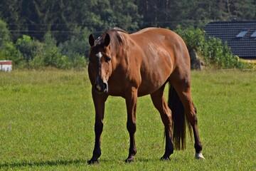 Koń na pastwisku - fototapety na wymiar
