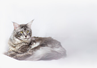 Studio picture of a blue silber tabby Maine Coon cat on white background.
