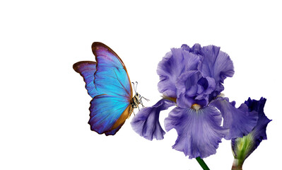 bright blue morpho butterfly on a blue iris flower isolated on white. copy space