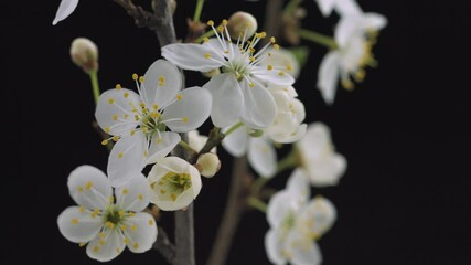 Fotoväggar - Beautiful Spring  Plum or Apricot tree flowers blossom timelapse, extreme close up. isolated on black background. Time lapse of Easter fresh white blossoming orchard tree closeup. 4K UHD video