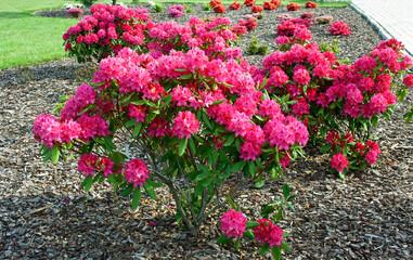 Obraz Rhododendron 'Nova Zembla' - fototapety do salonu