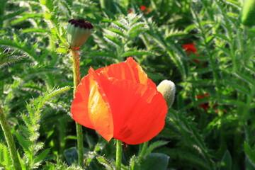 Obraz Czerwony kwiat maku wschodniego (Papaver orientale) - fototapety do salonu