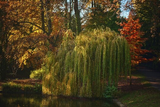 Weeping willow tree near the river with colorful trees in the background