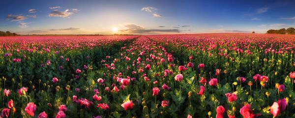Panorama landscape of poppy purple field with sun
