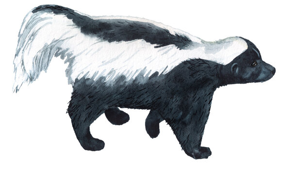 Realistic watercolor image of striped skunk