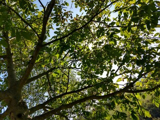 Papiers peints Forets Beautiful green leaves of a tree in the nature. Slovakia