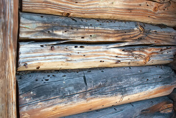 The logs of the house are damaged by wood pests. The woodworm deals damage. Bark beetle larvae under the bark.