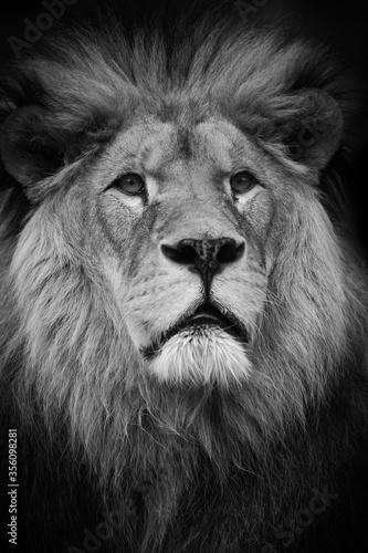 Fototapete Black and white portrait lion