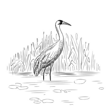 Whooping Crane in wild nature sketch. Hand-drawn illustration isolated on white