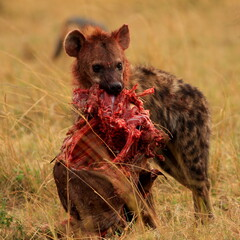 hyena with prey in serengeti national park tanzania africa
