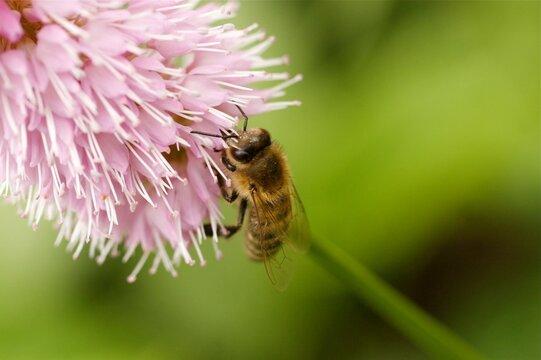 Biene auf rosaBlüte