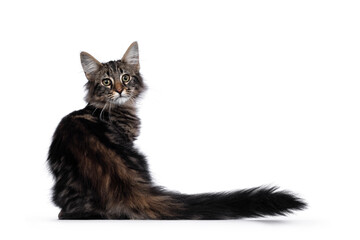 Wall Mural - Cute young black tabby blotched Norwegian Forestcat kitten, sitting backwards. Looking over shoulder with green / brown eyes towards camera. Isolated on white background.