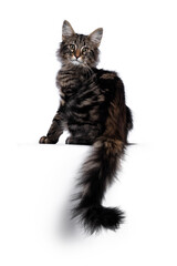 Wall Mural - Cute young black tabby blotched Norwegian Forestcat kitten, sitting backwards. Looking over shoulder with green / brown eyes towards camera. Isolated on white background. Tail hanging from edge.
