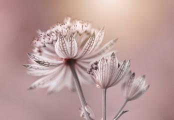 Obraz Różowe kwiaty - Astrantia - fototapety do salonu