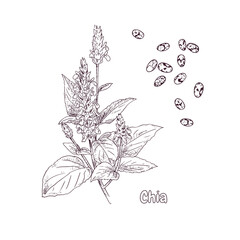 Hand drawn chia plant and seeds. Vector illustration in retro style isolated on white background.