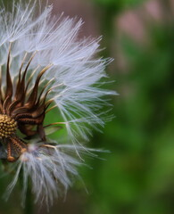 Close-up of seeded dandelion head, symbol of possibility, hope, and dreams. Good image for sympathy, get-well soon, or thinking of you greeting card.