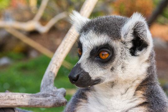 Ring-tailed lemur portrait (Lemur catta) during a summer day