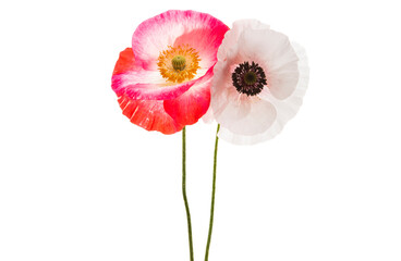 Poster Poppy bouquet of poppies isolated