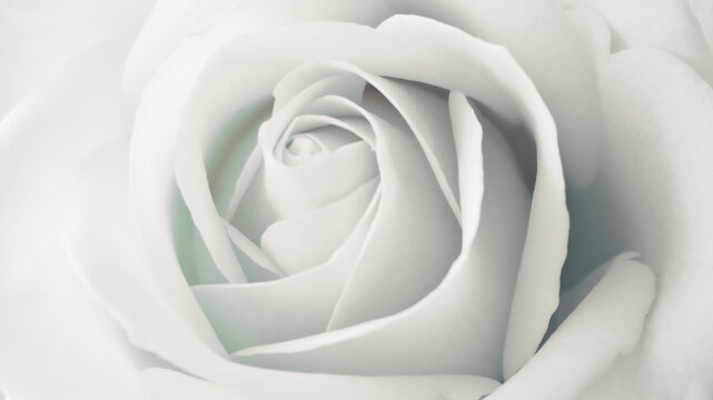 Rose flower bud close up soft focus black and white background