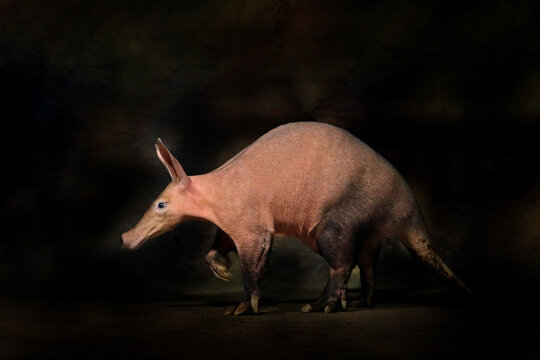 Aardvark, Orycteropus afer, burrowing, nocturnal mammal native to Africa. Crazy animal in the dark night. Aardvark, in the nature habitat, Tanzania. Africa night with interesting creature.