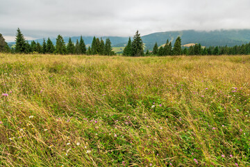 Wall Mural - landscape with grassy meadow. field on the hill beneath an overcast sky. countryside summer scenery in mountains