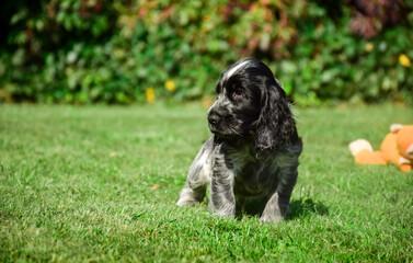 English Cocker Spaniel puppy  on the grass.