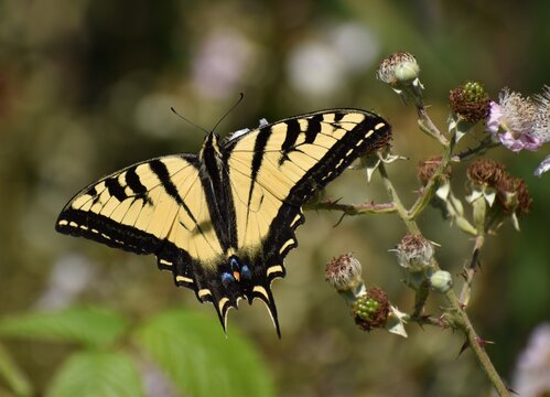 A western tiger swallowtail butterfly (Papilio rutulus) perched on a wild blackberry flower.