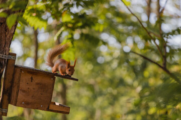 Printed kitchen splashbacks Squirrel Curious euroasian red squirrel with fluffy tail looking from bird feeder in woodland park outdoors