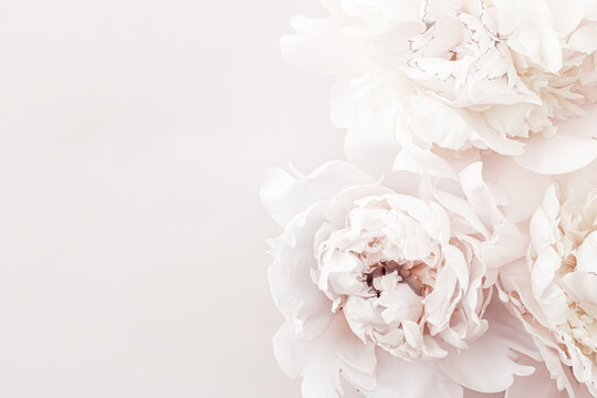 Pastel peony flowers in bloom as floral art background, wedding decor and luxury branding design
