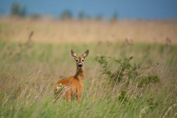 European roe deer - Capreolus capreolus on the meadow