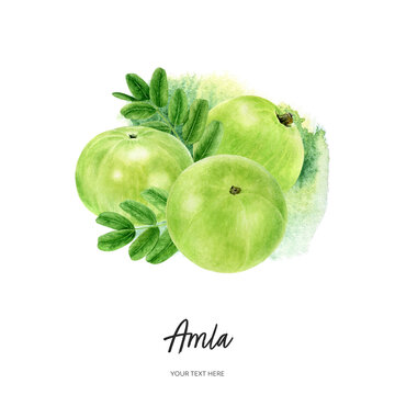 Indian three gooseberry fruits amla with leaf watercolor illustration isolated on watercolor splash background