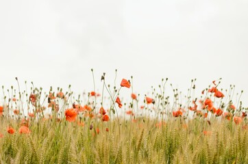 Foto op Canvas Poppy field of red poppy