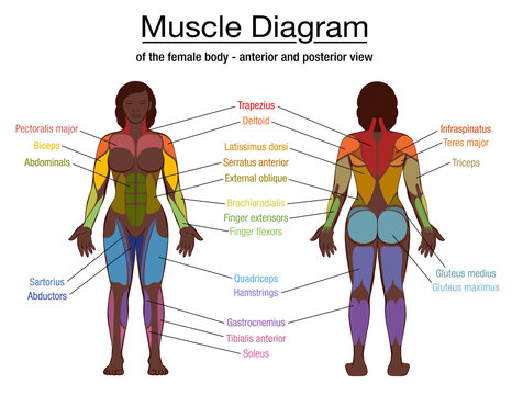 Muscle diagram, most important muscles of an athletic black man, anterior and posterior view, male body. Labeled vector illustration chart on white background.