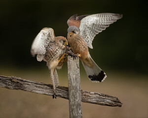 Wall Mural - Male and Female Kestrels fighting over mouse on a fence post.
