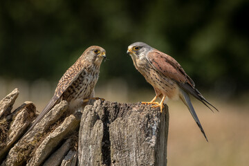 Wall Mural - Male and female Kestrels perched on a wall with a green background.